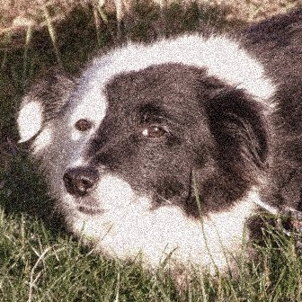 Black And White Border Collie lying down