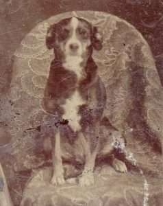 Photographic plate of a Collie type, c1870.