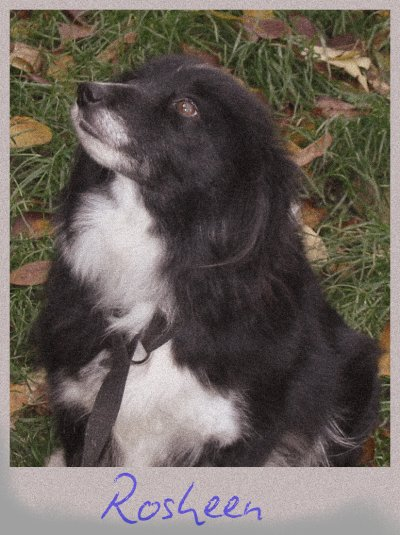 Inspire Your Dog Border Collie Working Sheepdog Sheep Dog Training Help Advice Behavioural Health Black and White Sable Rosheen and Colleen Mother and Daughter