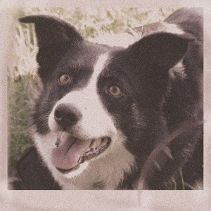 Inspire Your Dog Border Collie Working Sheepdog Sheep Dog Training Help Advice Behavioural Health Black and White Concentration
