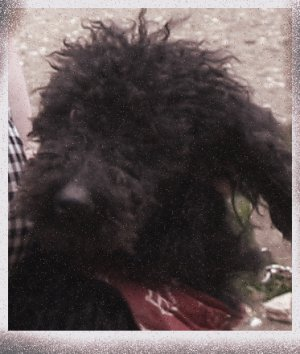 Inspire Your Dog Poodle Dudley Curly Black Training Help Advice Behavioural Health