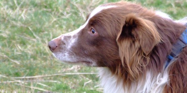 Inspire Your Dog Border Collie Working Sheepdog Sheep Dog Training Help Advice Behavioural Health Red and White